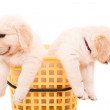 Golden Retrievers — Stock Photo