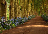 Path with tree on two side in azores — Stock Photo