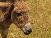 Détail tête âne dans l'herbe du champ — Photo