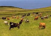 ファーム牛サンミゲルのアゾレス島 — ストック写真