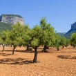Olive trees — Stock Photo