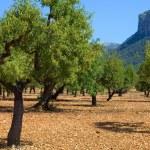 Olive trees — Stock Photo