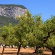 Olive trees — Stock Photo #23807801