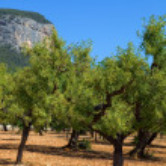 Olive trees — Stock Photo #23815991