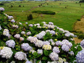 Azores flowers — Stockfoto