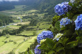 Azores flowers — Stock Photo