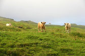 Cows — Stockfoto