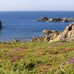 Coast rose — Stock Photo #45159603