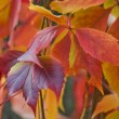 Bright autumn foliage of vine — Stock Photo #13897127