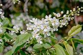 Flowering bird cherry tree — Stock Photo