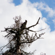 A carrion-crow sits on a dry tree on a background blue sky — Stock Photo