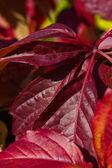 Bright autumn foliage of vine — Stock Photo