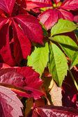 Jasny jesień liści winorośli — Zdjęcie stockowe