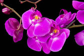 Flowers of pink orchid on a blue background — Stock Photo