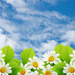 Field flowers of camomile on a background blue sky — Stock Photo
