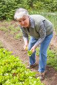 Vrouw verzamelt oogst van groene blad sla — Stockfoto