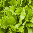 Sheet green lettuce with to the garden — Stock Photo