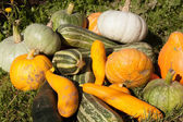 harvest of pumpkin and vegetable marrows  — Foto Stock