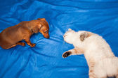 Lady-cat of the Thai breed and dog rate play — Stock Photo