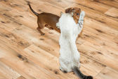lady-cat of the Thai breed and dog rate play — Stockfoto