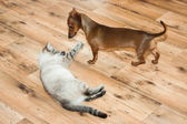 lady-cat of the Thai breed and dog rate play — Photo