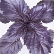 Purple basil — Stock Photo