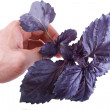 Purple basil in hand — Stock Photo