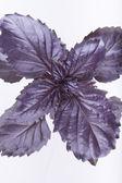Purple basil — Stock Photo