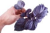 Purple basil in hand — Stock Photo