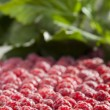 Lot of raspberry — Stock Photo
