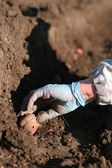 Planting potatoes — Stockfoto