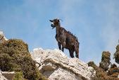 Mountain-goat — Stockfoto