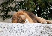 Adult lion — Stock Photo