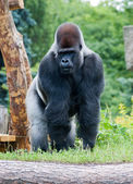 Male silver gorilla — Stock Photo