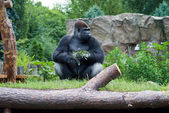 Gorilla with a sprig — Stock Photo