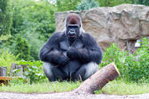 Male gorilla — Stock Photo