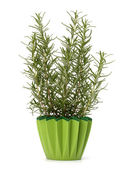 Sweet rosemary plant — Stock Photo