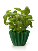 Sweet basil leaves — Stock Photo