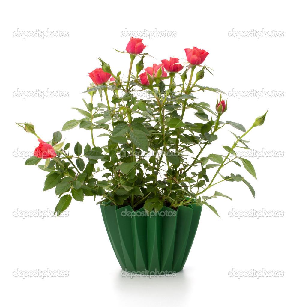 卡 worldofvector  朵朵玫瑰植物花盆 ungorf  粉红色的玫瑰   - 图库