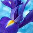 Beautiful blue iris flowers background — ストック写真