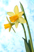 Beautiful yellow narcissus or daffodil flowers background — Stock Photo