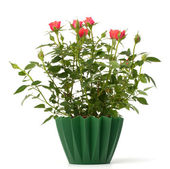 Beautiful rose in flowerpot — Stock Photo