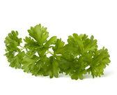 Parsley herb — Stock Photo