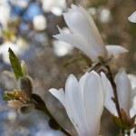 Beautiful magnolia blossom  — Stock Photo #19070525