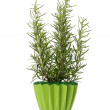 Sweet rosemary plant — Stock Photo