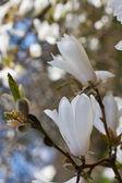 Hermosa magnolia en flor — Foto de Stock