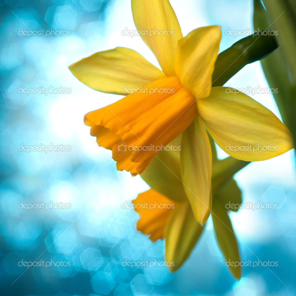 Beau Narcisse jaune ou arrière,plan de fleurs jonquilles \u2013 Image