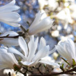 Beautiful magnolia blossom — Stock Photo #22159245