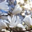 Stock Photo: Beautiful magnolia blossom