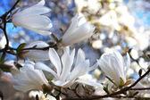 Vackra magnolia blossom — Stockfoto